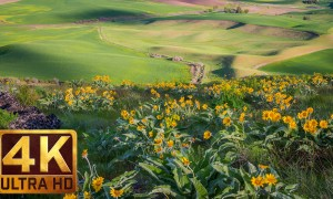 4K Flower Relax Video - Spring Flowers at Steptoe Butte State Park